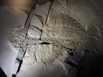 アノマロカリス化石.JPG