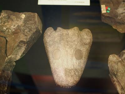 イクチオステガ頭骨.JPG