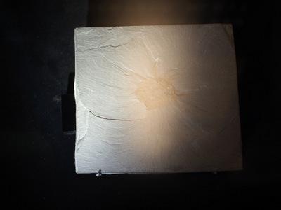 ウィワクシア化石.JPG