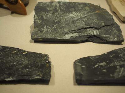 シダ化石.JPG