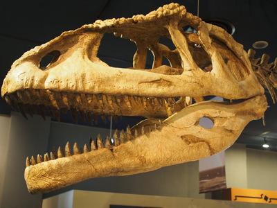 マプサウルス頭骨.JPG