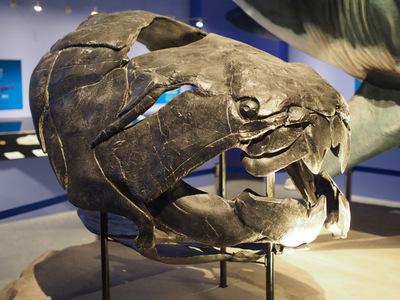 ダンクルオステウス頭部化石.JPG