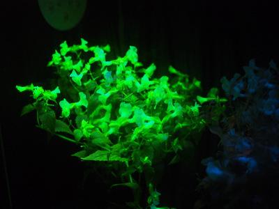 光るトレニア.JPG