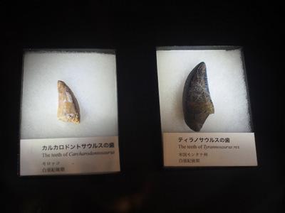 肉食恐竜の歯化石.JPG