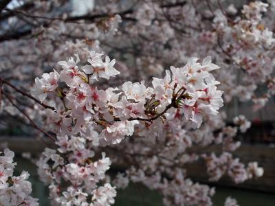 2015年の桜.JPG