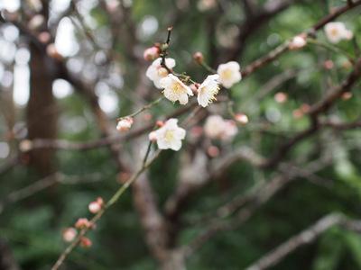 初春の梅.JPG