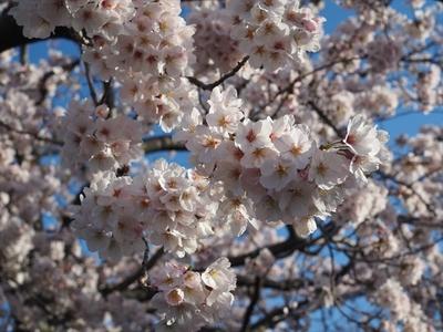 桜花の理.JPG