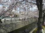 十四川の桜1.jpg
