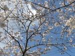 十四川の桜2.JPG