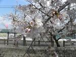 十四川の桜3.JPG
