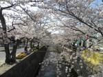 十四川の桜4.JPG